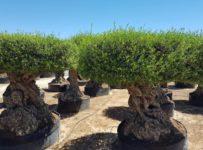 Súťaž o poukážku v hodnote 200€ na nákup olivovníka