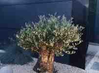 Súťaž o poukážku na nákup olivovníka v hodnote 25€